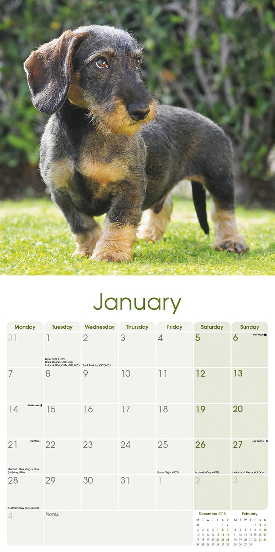Wirehaired Dachshund Calendar 2019 | Pet Prints Inc
