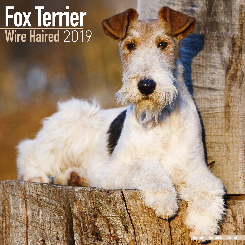 Calendario Fox.Fox Terrier Wirehaired Wall Calendar 2019