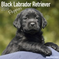 Black Labrador Puppies Wall Calendar 2019 by Avonside