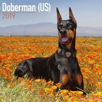 Doberman (Us) Wall Calendar 2019 by Avonside