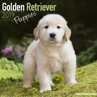 Golden Retriever Puppies Wall Calendar 2019 by Avonside