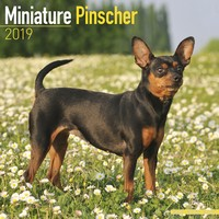 Miniature Pinscher Wall Calendar 2019 by Avonside